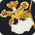 Oncidium of tijgerorchidee