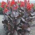Canna indica of Indisch bloemriet