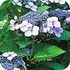 Hortensia's: de belangrijkste soorten Hydrangea en hun verzorging