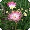 Albizia julibrissin of de slaapboom een tropische sierheester die het in onze tuinen ook goed doet