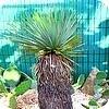 Planten Yucca thompsoniana of palmlelie: stap voor stap uitleg en foto's