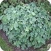 Alchemilla mollis of de vrouwenmantel: een mooie vaste plant als ideale bodembedekker