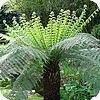 Dicksonia boomvaren: verzorging en winterbescherming