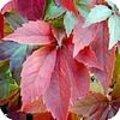 Parthenociccus - wilde wingerd: een klimplant met een mooie herfstverkleuring
