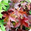 Verkleurende bladeren zorgen voor herfstsfeer in de tuin
