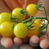 Tomaten en kinderen: kiezen voor andere vormen, maten, smaken en kleuren.