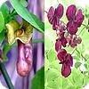 Klimplanten waarvan de wetenschappelijke benaming begint met de letter 'A':