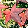 Liquidambar styraciflua - Amberboom: soorten cultivars en hun herfstverkleuring