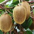Klimmend fruit: kiwi en druiven
