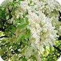 Fraxinus ornus - pluimes