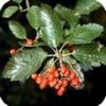 Sorbus aria of meelbes is een mooie en gemakkelijke boom als sierboom in plantsoenen en als straatboom