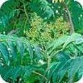 Ailanthus altissima of hemelboom