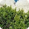 Pinus mugo of bergden wordt vooral in rotstuinen aangeplant.