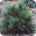 Pinus strobus of weymouthden
