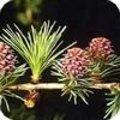 Larix decidua of de lork een bladverliezende conifeer.