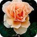 Tijd om rozen te planten