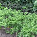 Boerenkool - krulkool