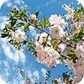 Prunus subhirtella 'Autumnalis' - sierkers