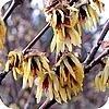 Chimonanthus of winterzoet bloeit met fel geurende bloemen in de winter