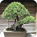 Bonsai ziektes en plagen