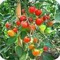 Geschiedenis van de tomaat