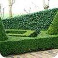 De beste groene-haagplanten