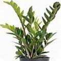 Zamioculcas zamiifolia 'Zamicro'