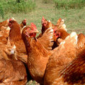 Kippen: ABC van het ei