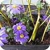 Breng de lente in huis met bloeiende bloembollen