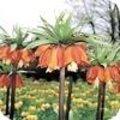 Fritillaria soorten