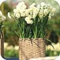 Narcis 'Bridal Crown'