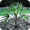 Trachycarpus fortunei en T. wagnerianus zijn goede winterbestendige tropische planten