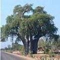 Adansonia - baobab