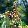 Wasnootboom - Sapindus mukorossi: herkomst, oogst van wasnoten en gebruik als wasproduct,...