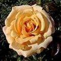 Gezonde rozen met compost