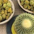 Cactussen als kamerplant