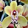 Cymbidium is een soort orchidee voor in de huiskamer en in de tuin zodra er geen nachtvorst meer is