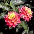 Lantana camara: wisselbloem, bourbontje of verkleurbloem met exotische bloemen