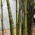 Woekerende bamboe in de tuin