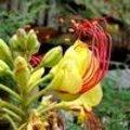 Caesalpinia gilliesii - paradijsvogelstruik