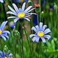 Felicia amelloides - blauwe margriet