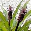 Eucomis of ananasplant / kuiflelie: mooie soorten zoals Eucomis 'Sparkling Burgundy', Eucomis pole-evansii,...