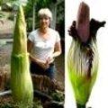 reuzenaronskelk: grootste 'bloem' ter wereld