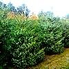 Picea omorika of Servische spar wordt vaak gekocht als blauwgroene kerstboom