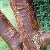 Acer griseum - papieresdoorn: een boom die niet heel hoog wordt met mooie stam en herfstverkleuring