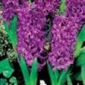 Hyacint 'Purple Sensation'