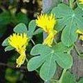 Eenjarige klimplanten