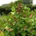 Mooie groenten kunnen in de bloemenborder ook voor prachtige kleurencombinaties zorgen.