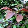 Prunus cerasifera 'Nigra' of de kerspruim / kroosjespruim