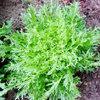 Andijvie telen in de moestuin - een bittere groente voor in de salade of om te stoven